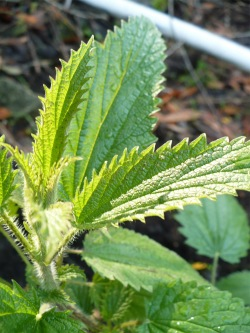 Combat the sting of nettle leaf with another wild weed