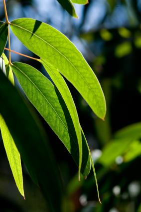 eucalyptus-stock