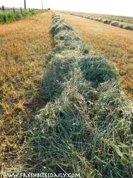 Hay Harvesting at FreshBitesDaily.com