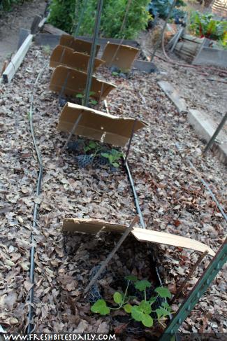 Shade for Summer Seedlings at FreshBitesDaily.com