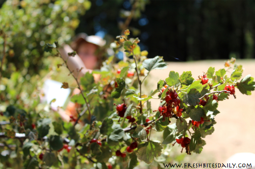 Wild Currant Harvesting at FreshBitesDaily.com
