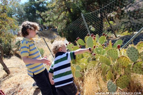 Prickly Pear Harvest -- Friday Food Flicks at FreshBitesDaily.com