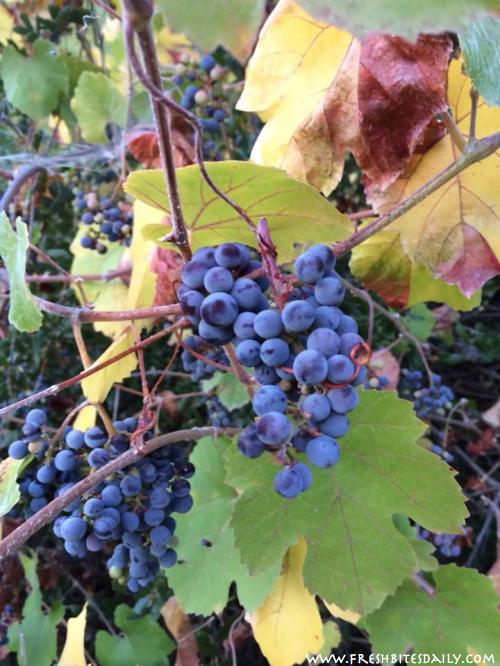 Wild Grapes -- Friday Food Flicks at FreshBitesDaily.com