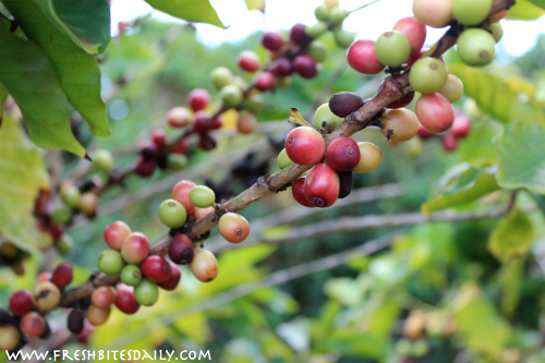 Coffee beans/cherries ripe on the tree form FreshBitesDaily.com