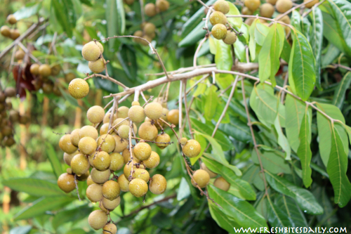 Longan Fruit at Steelgrass Farm via FreshBitesDaily.com