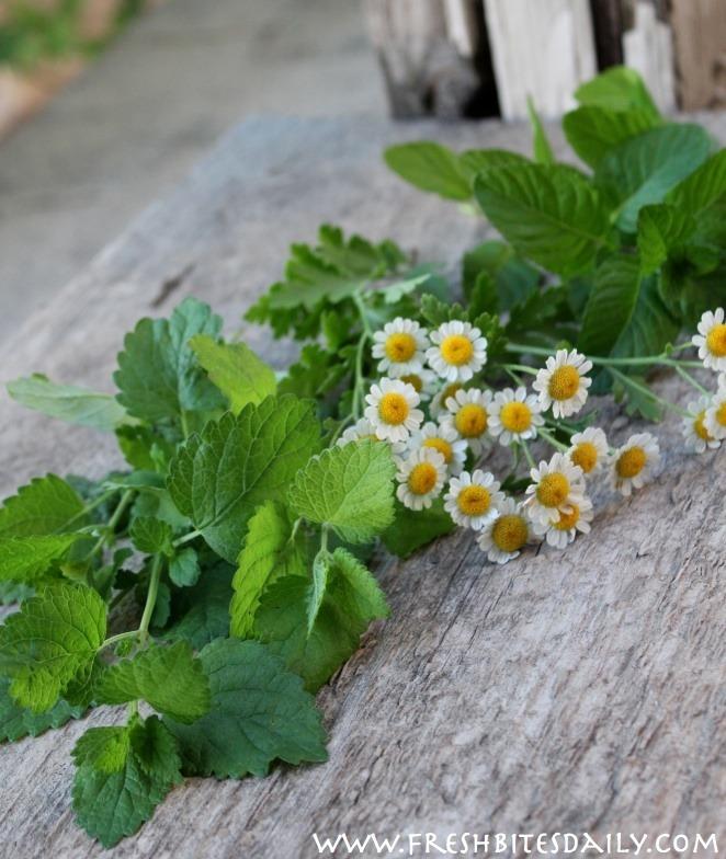 migraine-herbs-WM